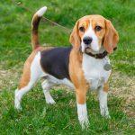 cachorro beagle sp