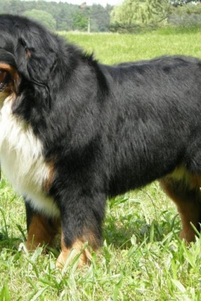 cachorro bernese