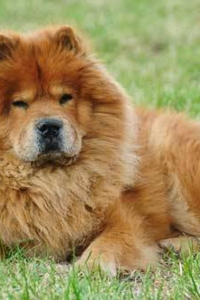 cachorro da lingua roxa