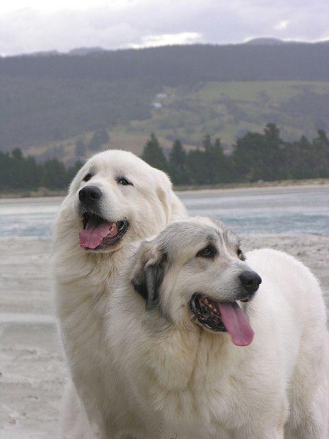 Cachorro branco das montanhas