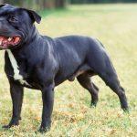 Staffordshire Bull Terrier preto