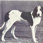 cachorro foxhound americano historia