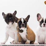 bulldog frances filhote