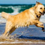Golden Retriever na agua