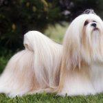 lhasa cachorro historia