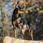 Pinscher miniatura cachorro