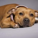 Staffordshire Bull Terrier caramelo