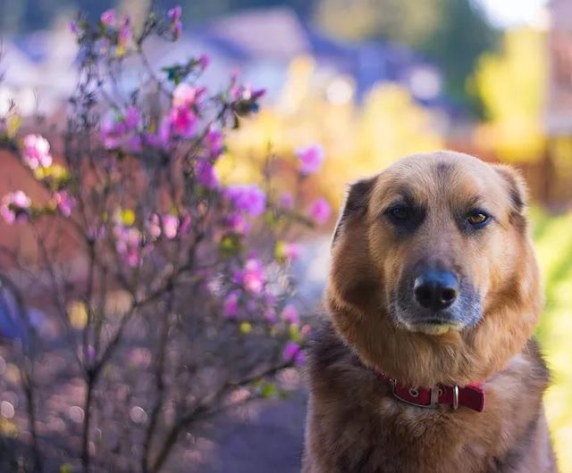 cancer de mam em cachorros