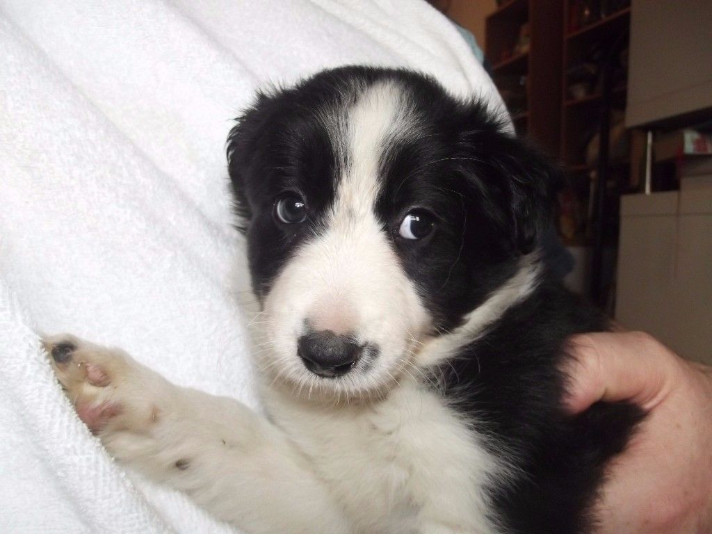 border-collie-femea