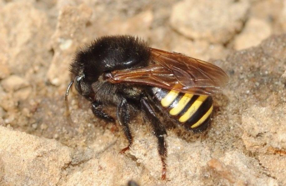 abelha mandaçaia
