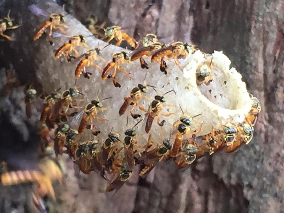 abelhas jatai