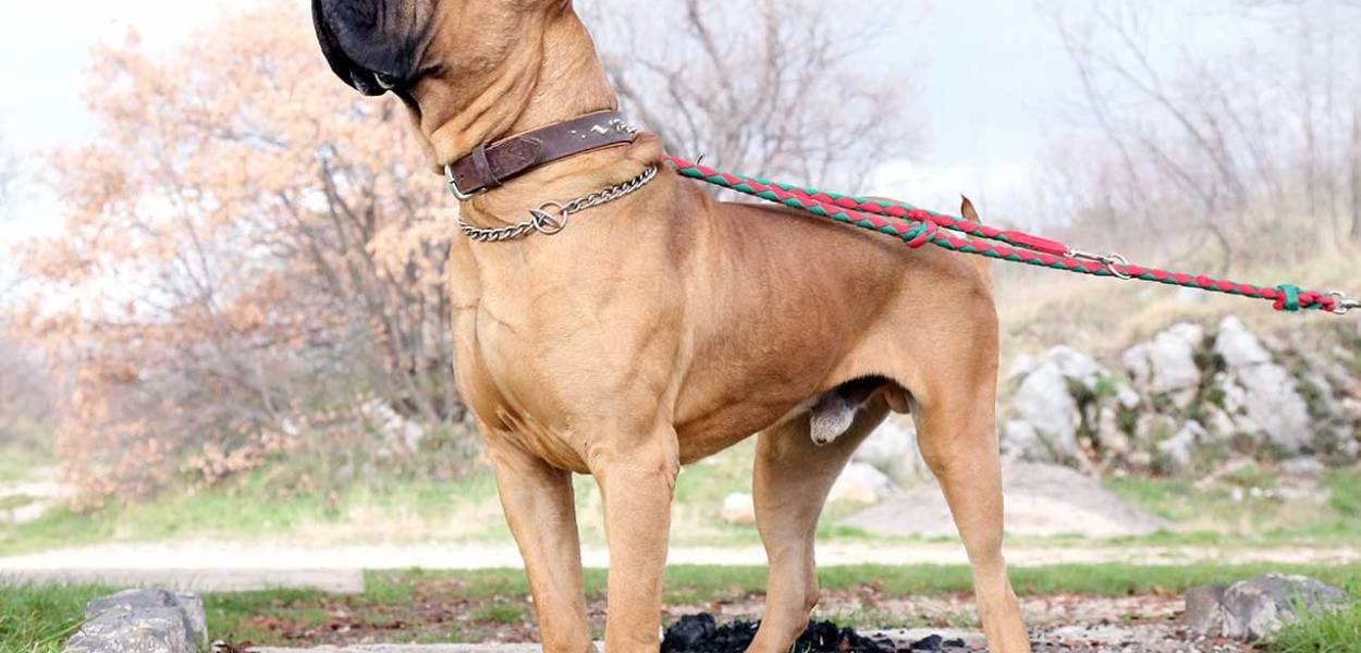 presa canário cachorro