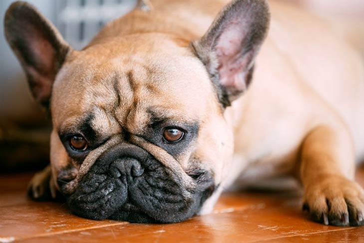 cachorro com giardia