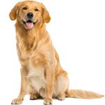 cachorro golden